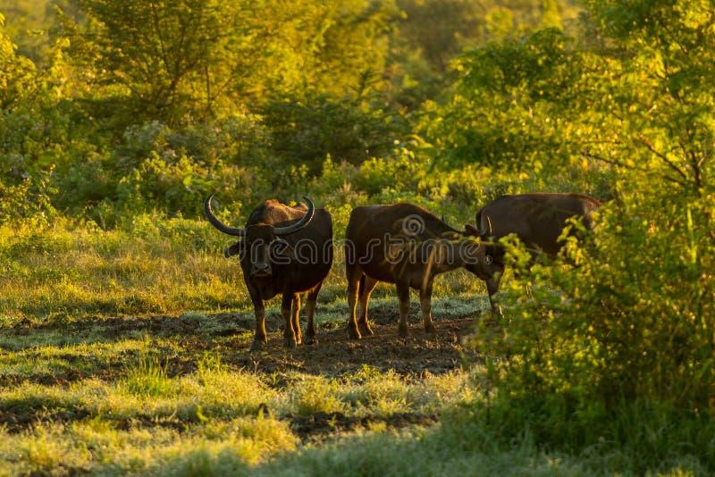 Water buffalo in the Udawalawe National Park on Sri Lanka. Water buffalo in the Udawalawe National Park on Sri Lanka stock images