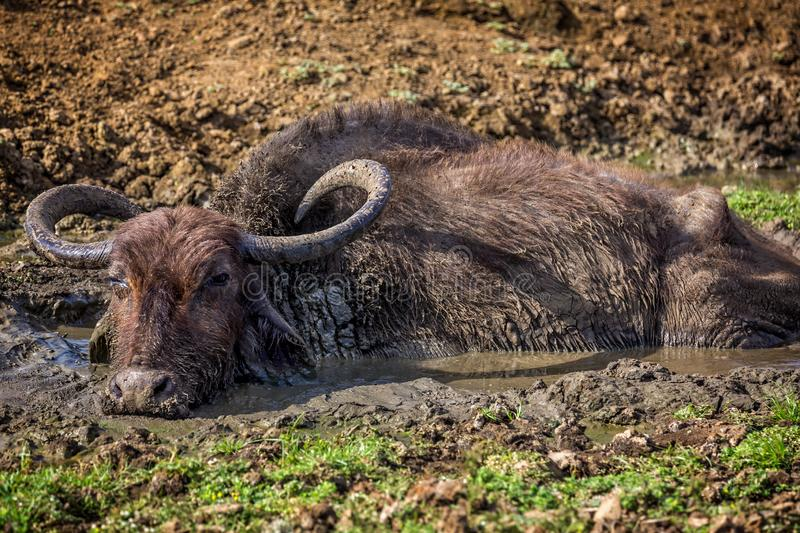 Water Buffalo wallowing in mud pool royalty free stock photos