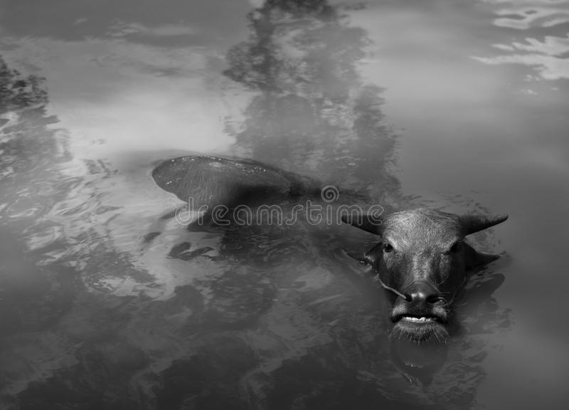 WATER BUFFALO WALLOWING IN WATER royalty free stock images