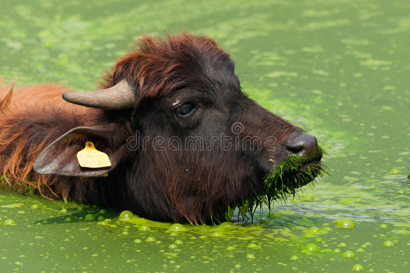 Water Buffalo in the Water stock photo
