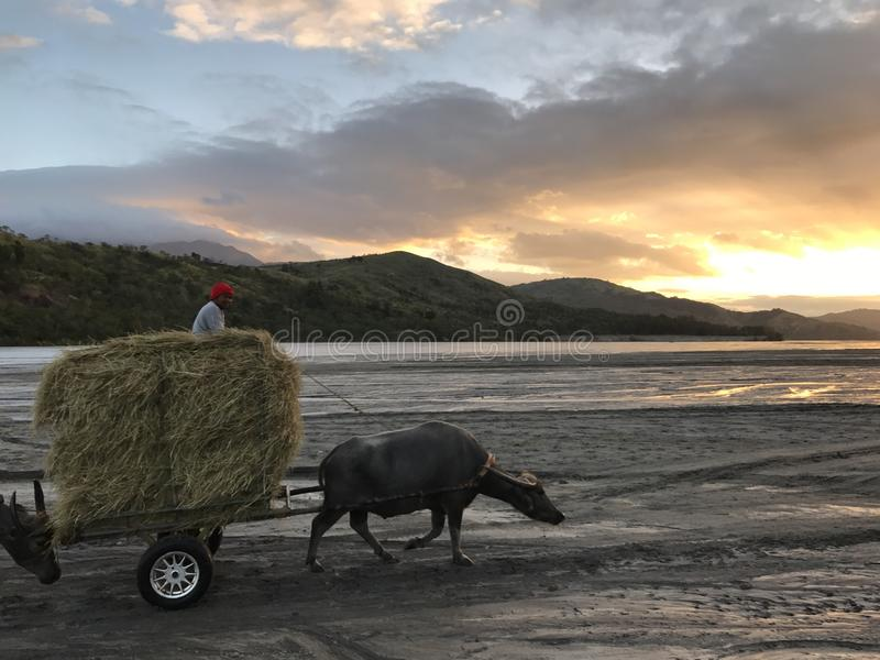 Water Buffalo Working in Lahar. With Sunrise as background. Picture captured during the 2 hour 4x4 ride to the Mt. Pinatubo Jump-off stock image