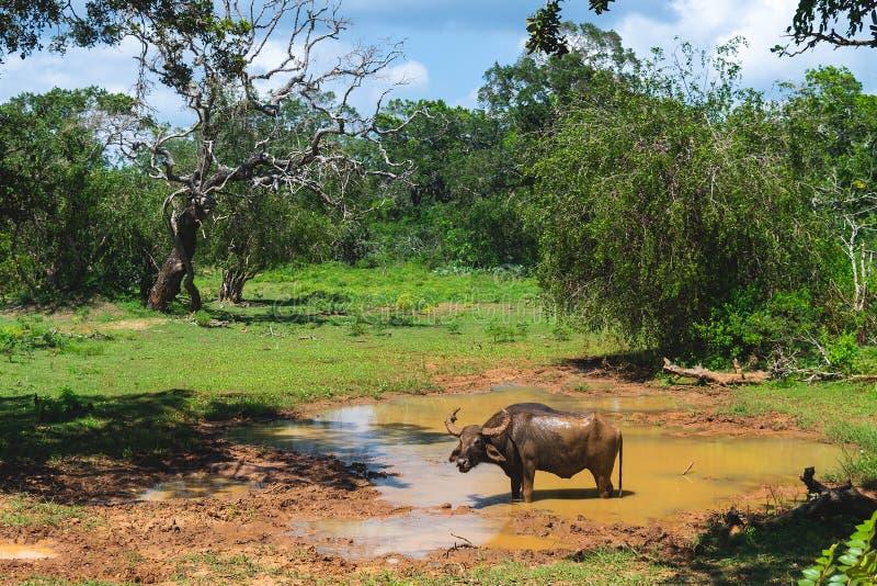 Water buffalo in Yala National park stock photo