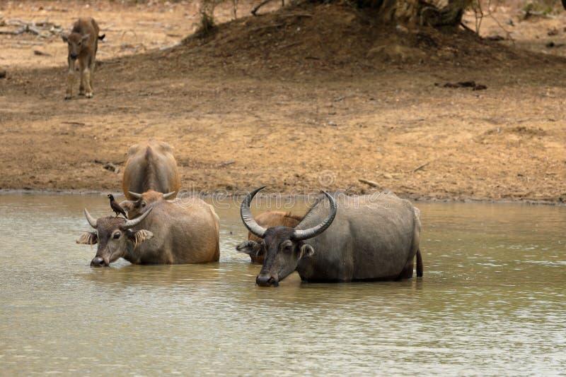 Water buffalo in Yala National Park in Sri Lanka. A Water buffalo in Yala National Park in Sri Lanka stock image