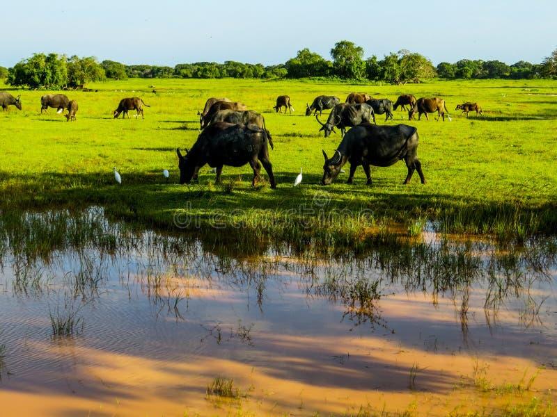 Water buffaloes in Yala National Park royalty free stock image