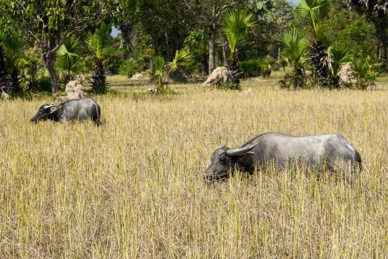 Water buffalos at Angkor complex stock photos