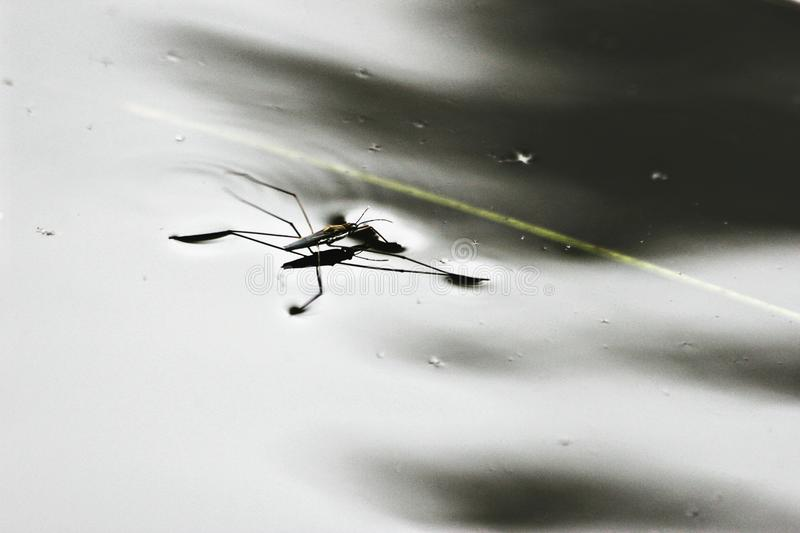 Water bug floating on water stock photos