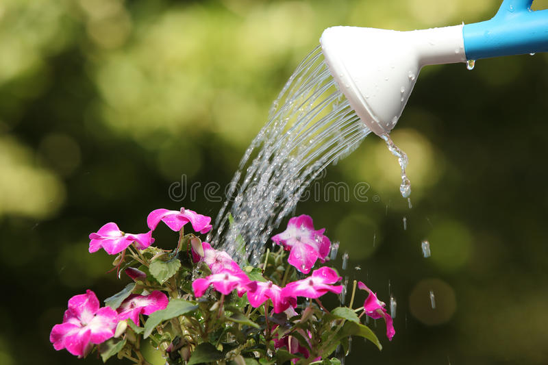 Water can watering a flower plant royalty free stock images