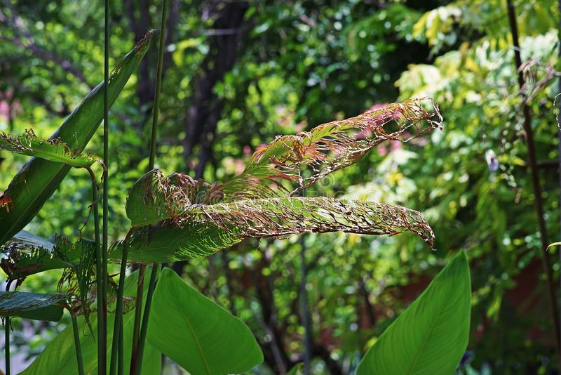 Water canna, flowering plant for decoration leaves damage. Insect damage sign stock image