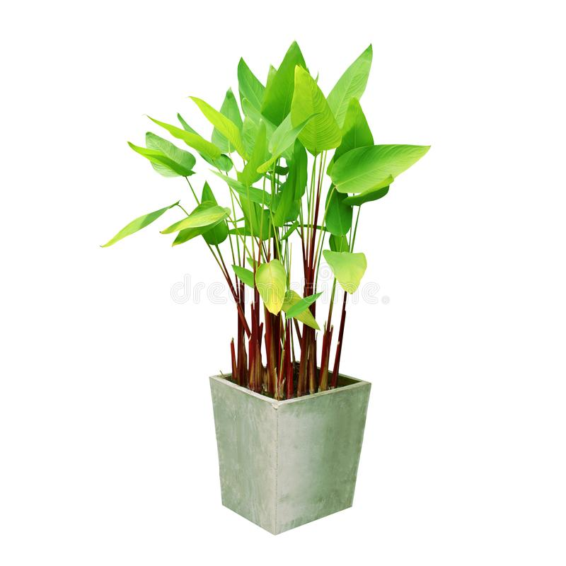 Water Canna, Thalia dealbata, Plant in Cement Pot Isolated on White Background royalty free stock photos
