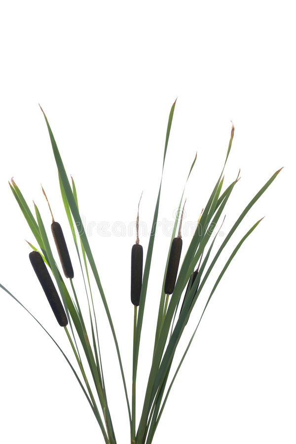 Water cattails on a white background stock image