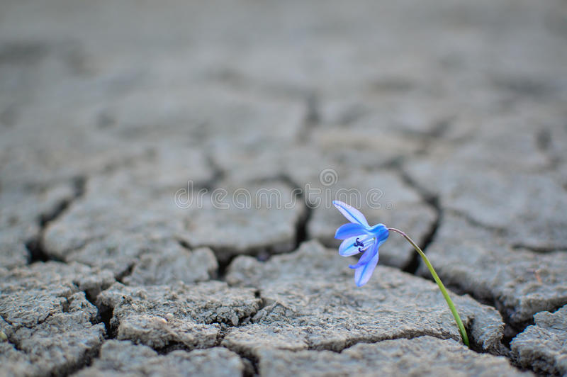 The water crisis flower growing out of a dry ground stock image