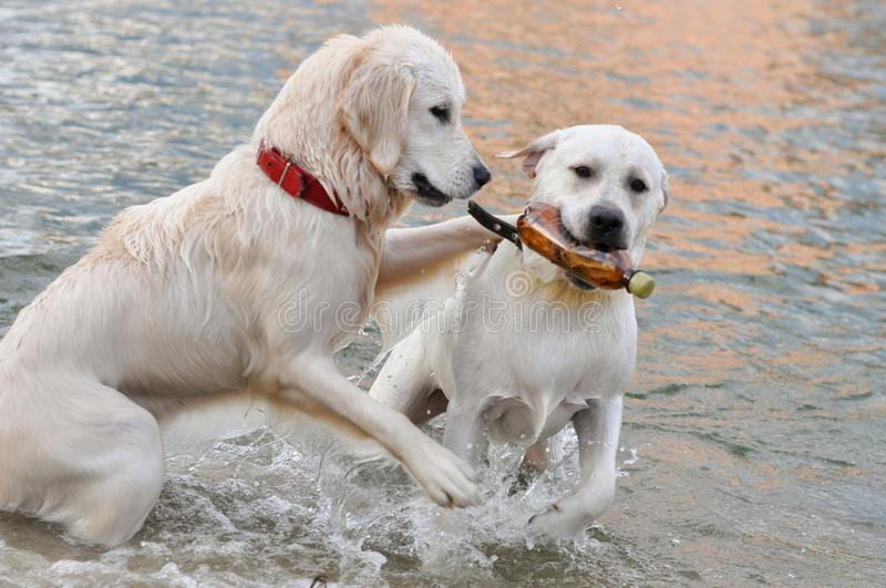 Water Dogs, Golden Retriever in a Red Collar, Labrador with a Bottle. Two Dogs: Golden Retriever in a Red Collar, Labrador with a Bottle - are playing in the royalty free stock images