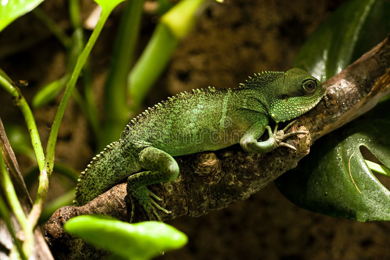 Download Water Dragon stock photo. Image of crawling, green, forest - 8524052