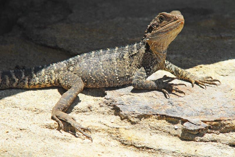 Water Dragon Basking stock afbeelding