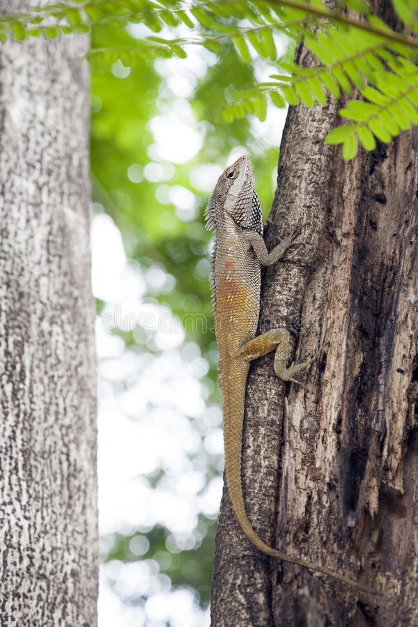 Download Water Dragon Lizard stock photo. Image of orange, tree - 29593066