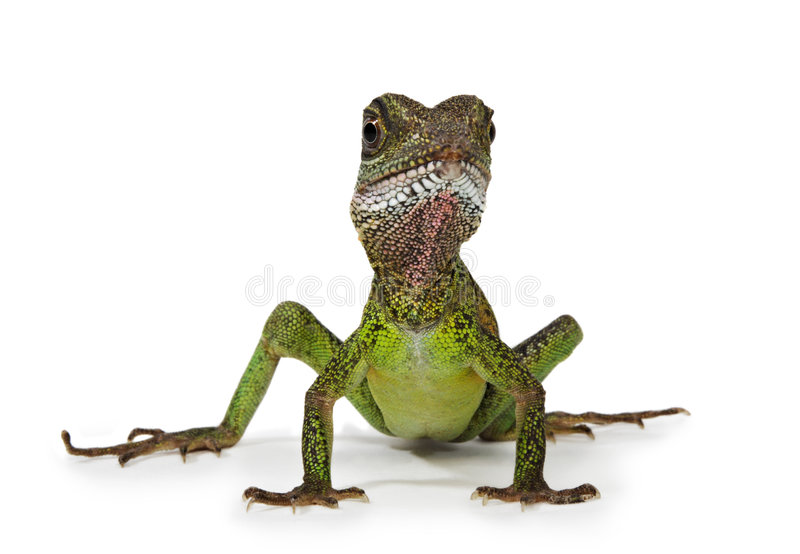 Download Water dragon lizard stock photo. Image of cute, herp, isolated - 5049874
