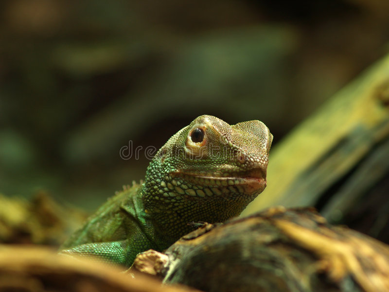 Water Dragon (Physignathus Cocincinus) Royalty Free Stock Photo