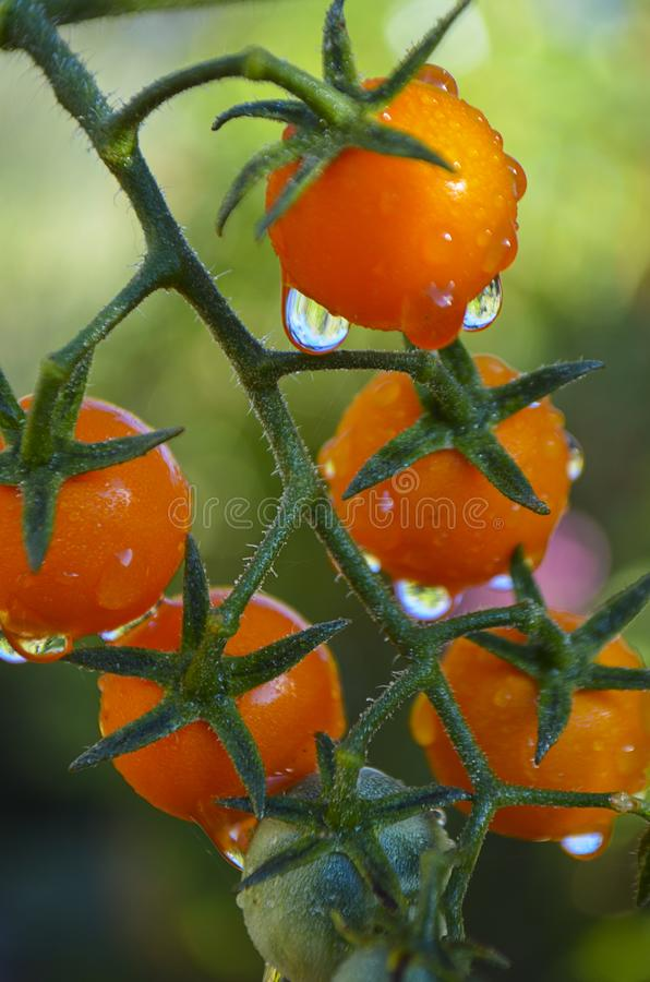 Water drips off ripening cherry tomatoes after a rain. Water drips off newly ripening tomatoes after a rain. Water drops make patterns on green tomatoes after stock photos