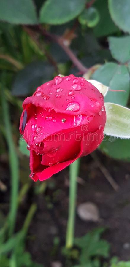 Water drop on beautifull red rose. Red rose with water  drop after a rain, beautifull nature colours,web site  background coloursweb royalty free stock photography