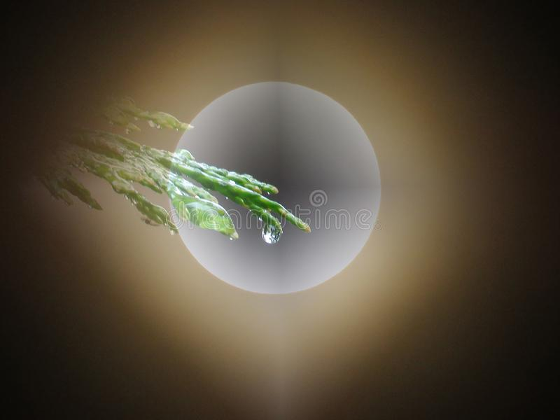 Water drop. Big full glowing moon behind a Cupressus tree branch on dark blurred sky background. royalty free stock images