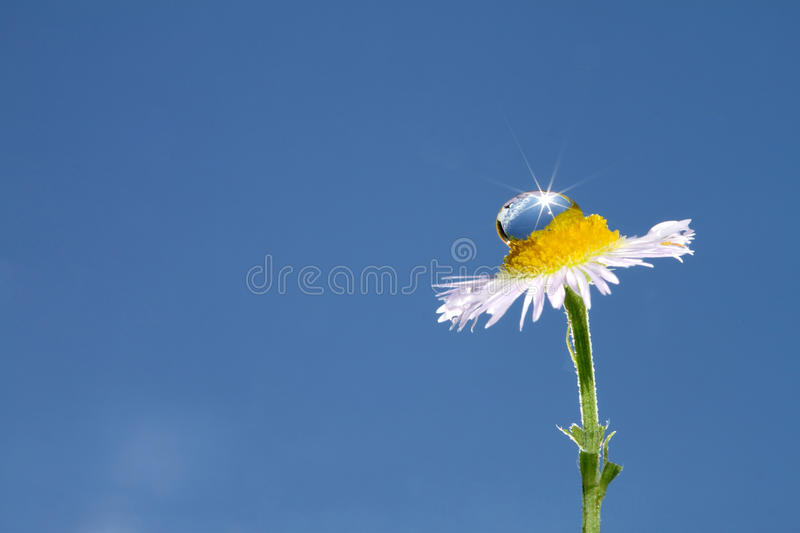 Water drop on daisy stock image
