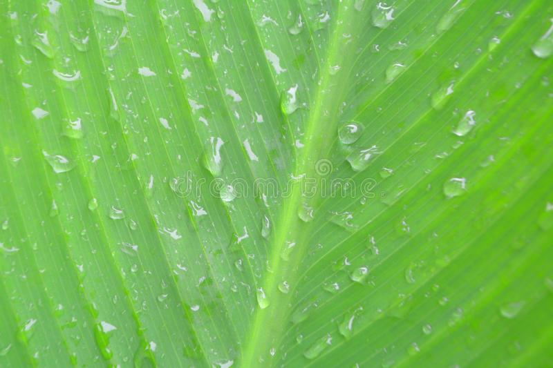 Water drop ,dew drops on green leaf texture nature background stock photos