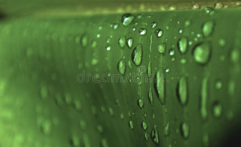 Water drop on green banana leaf, Macro closeup water drops on leaf stock images