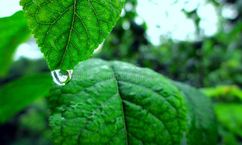 Water Drop On Green Leaf Free Public Domain Cc0 Image