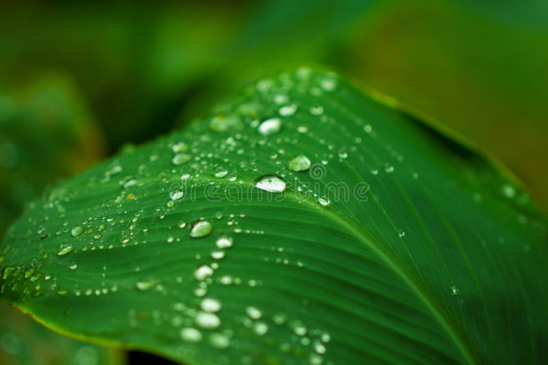Water drop on green leaf. Garden plant leaf after the rain. Morning dew on plant leaf. Hydration for youth and freshness concept image for product package royalty free stock images
