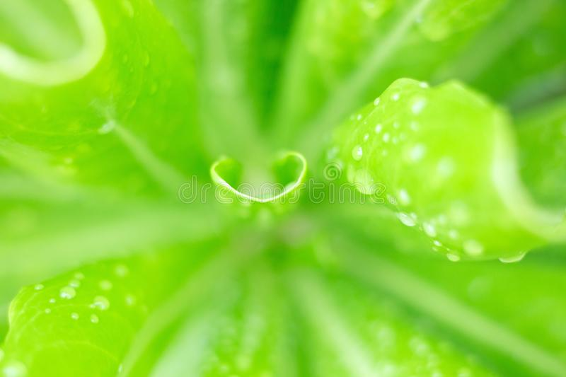 Water drop on green leaf royalty free stock images