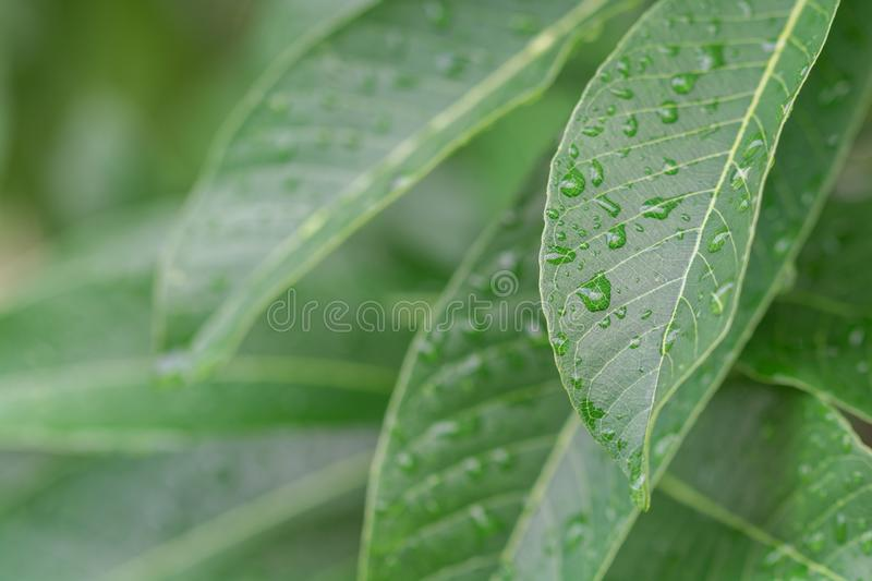 Water drop and green leaf texture background stock image