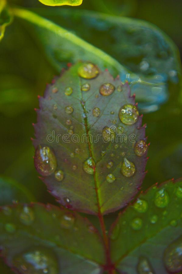 Water drop on green leafs stock images