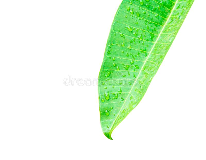 Water drop on leaf green isolated on white background and clipping path with copy space add text stock photo