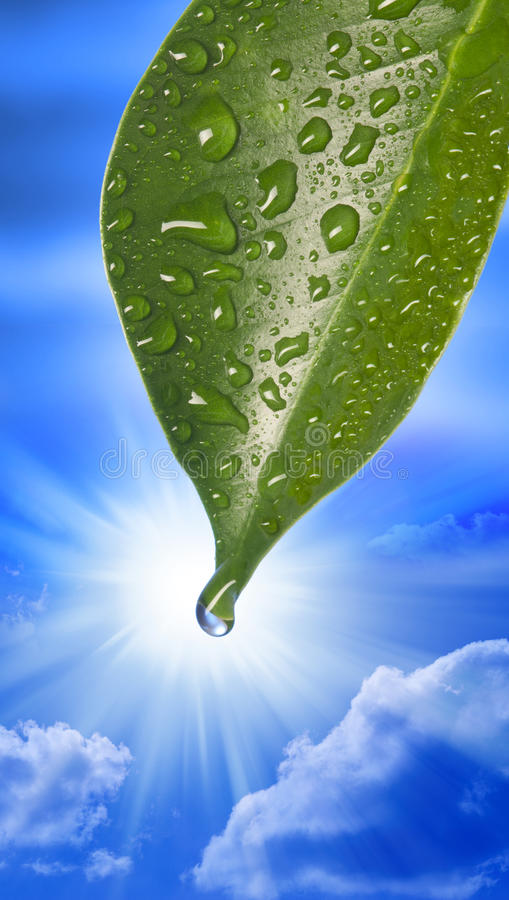 Water Drop Leaf Sky. A single green leaf with a drop of water formed on its tip with a sunny blue sky background royalty free stock images