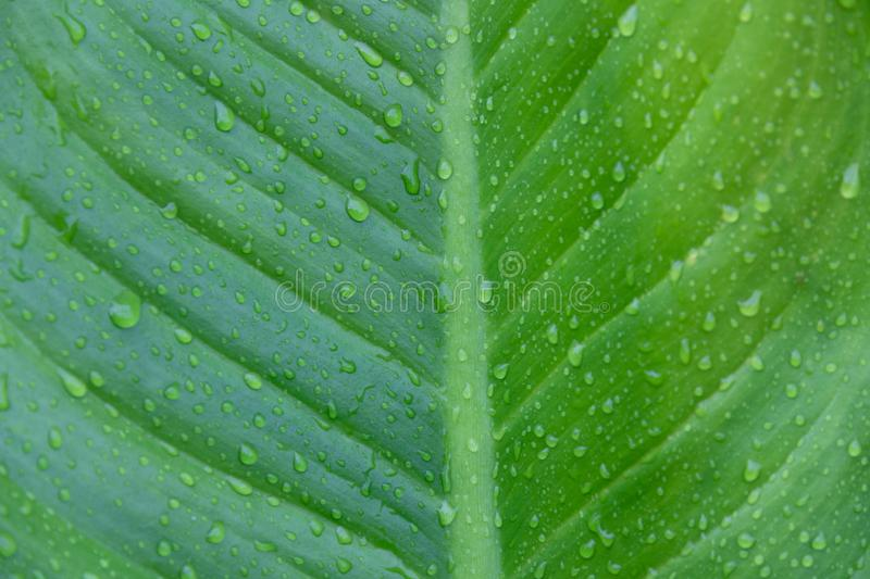 Water drop of water on nature green tropical banana leaf, dew on banana leaf, nature background royalty free stock images