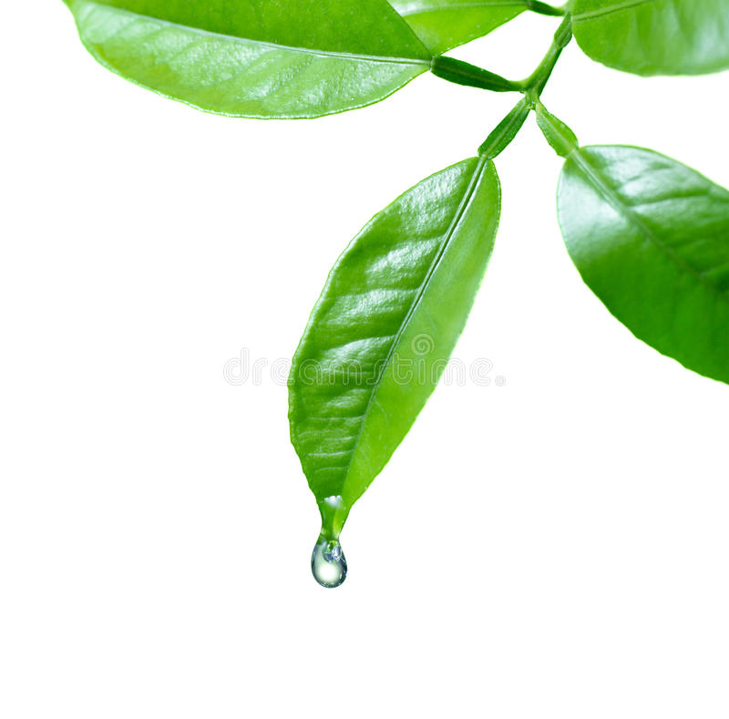 Free Water Drop On Leaf Royalty Free Stock Images - 30514769