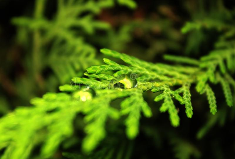 Water drop on a pine branch. Raindrop, tree, lush, close-up, summer, wood, needle, shiny, evergreen, bead, nature, closeup, wet, fir, scene, outdoor, firtree royalty free stock images