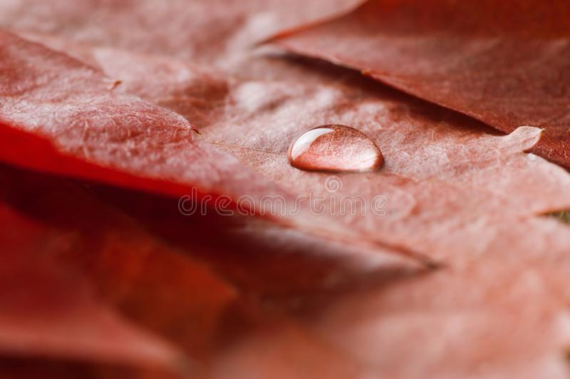 Water drop on red autumn leaves close up. Bright autumn concept. macro shoot royalty free stock photos