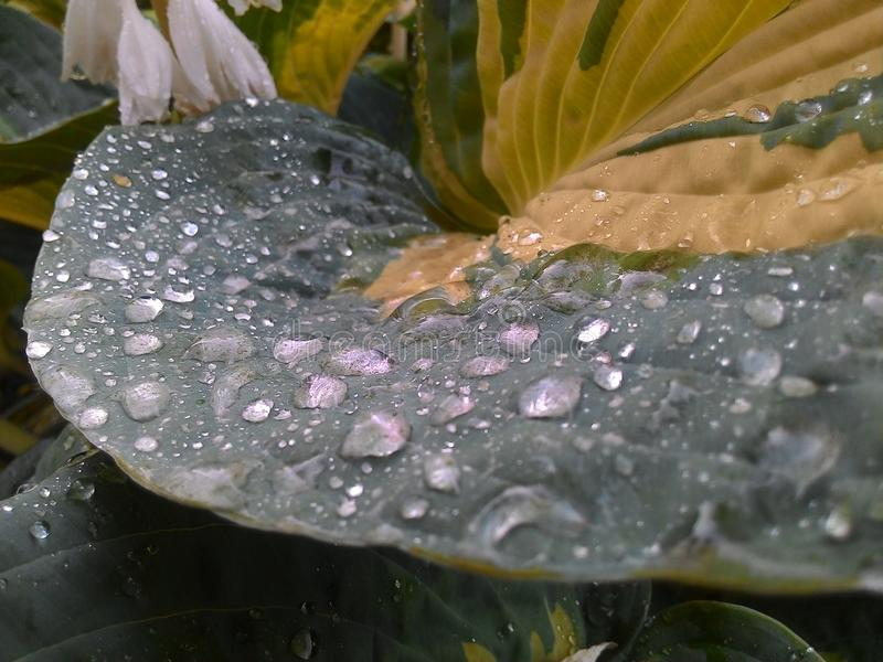 Water droplets on а Hosta leaf. royalty free stock image