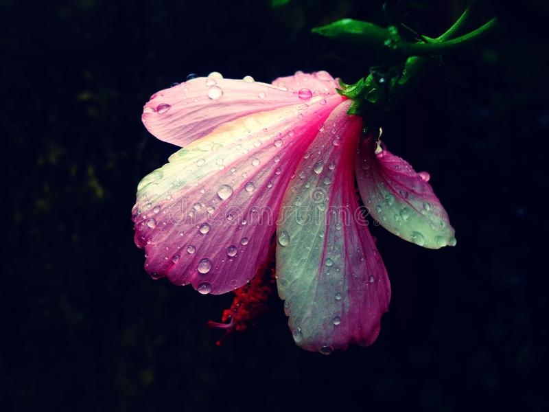 Water droplets on a back view flower on an evening stock image