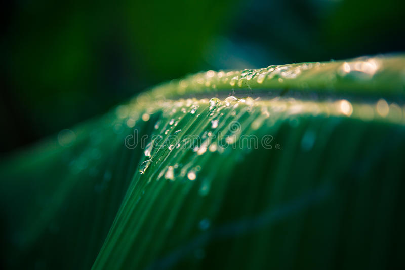 Water droplets on banana leaf in sunset dark vintage color tone stock images