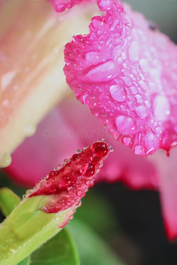 Water droplets on the Desert Rose flower stock photos