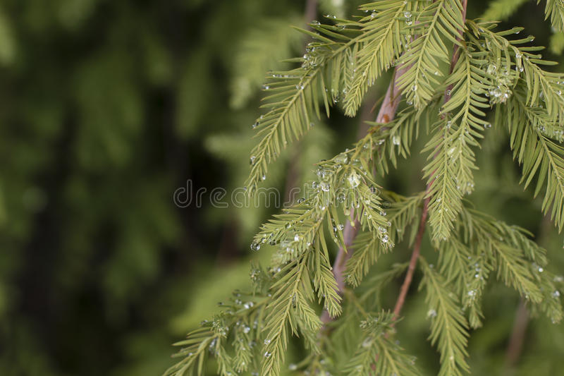 Water Droplets on a Fir Branch. Water drops from a recent rain collect on a fir branch stock photography