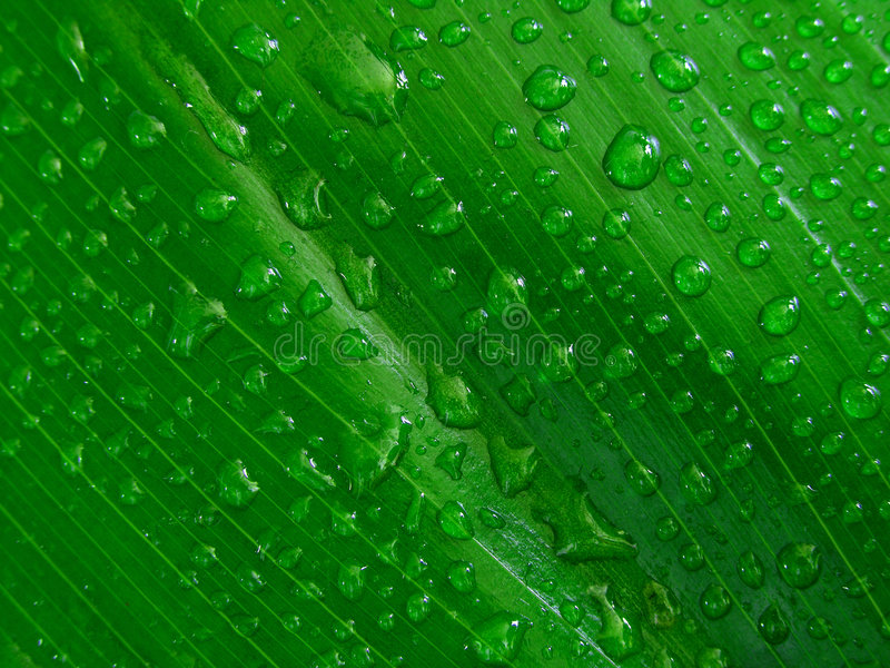 Water droplets on green leaf, royalty free stock photo