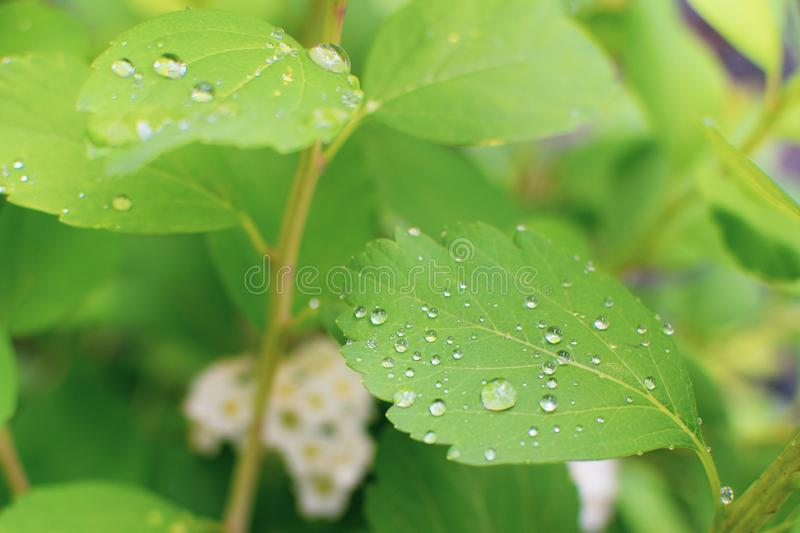 Water Droplets on Green Leaves royalty free stock photography
