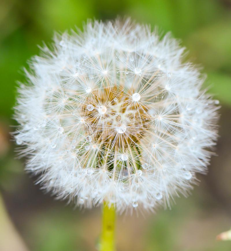 Free Water Droplets On A Dandilion. Geometry Sphere Royalty Free Stock Photos - 118310628