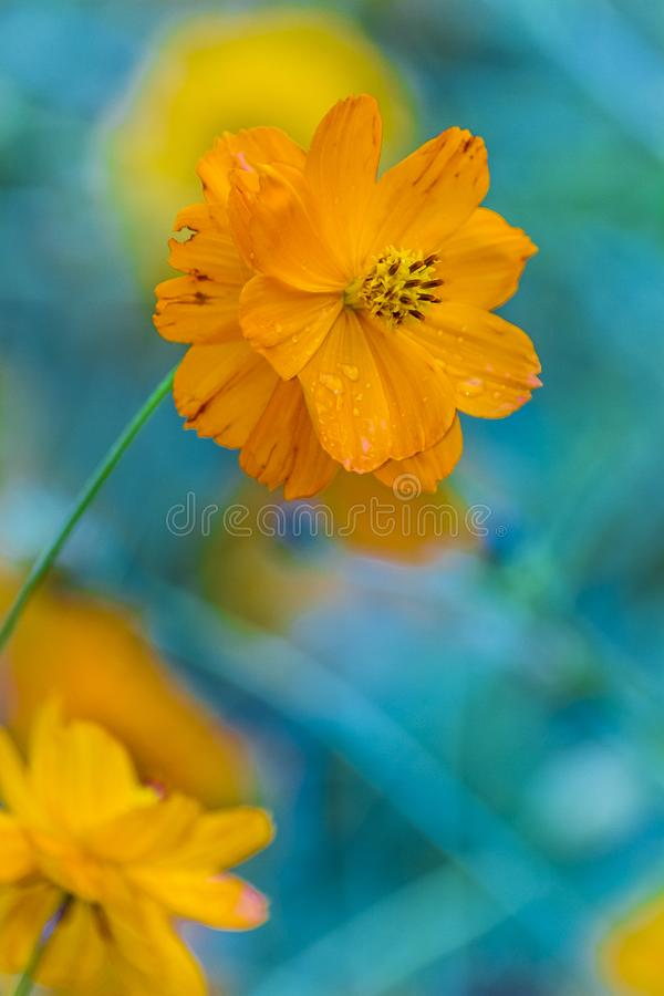 Orange flower with water drops royalty free stock images