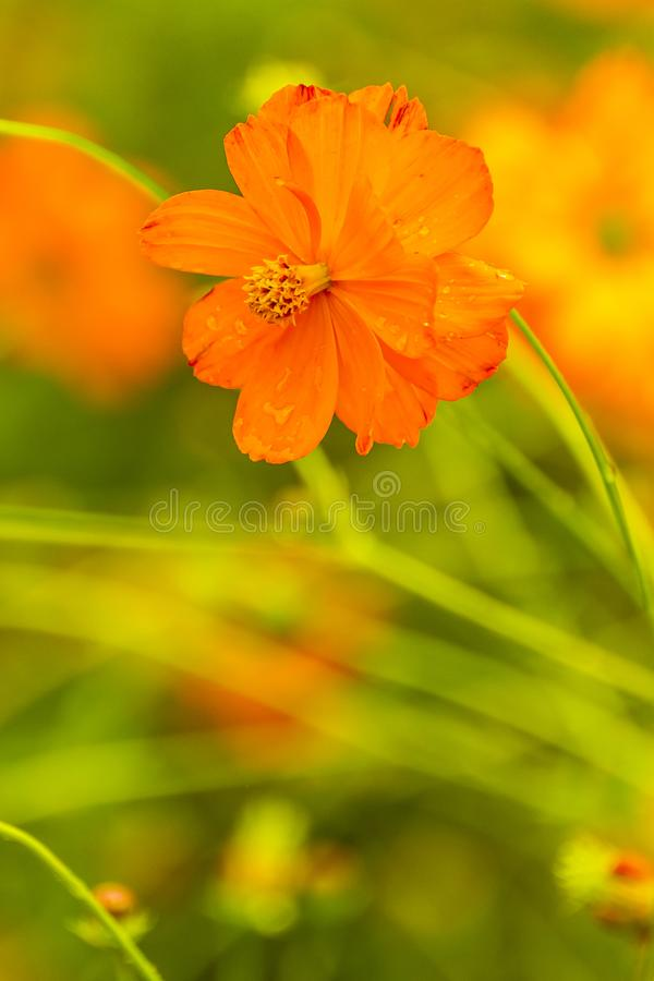 Orange flower with water drops stock photography