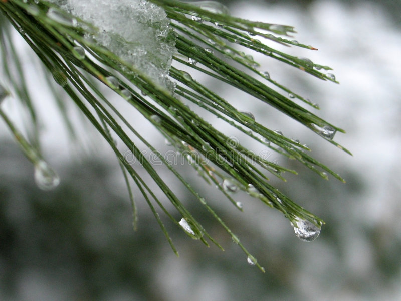 Download Water Droplets On Pine Needles: Stock Image - Image of pine, detail: 85665