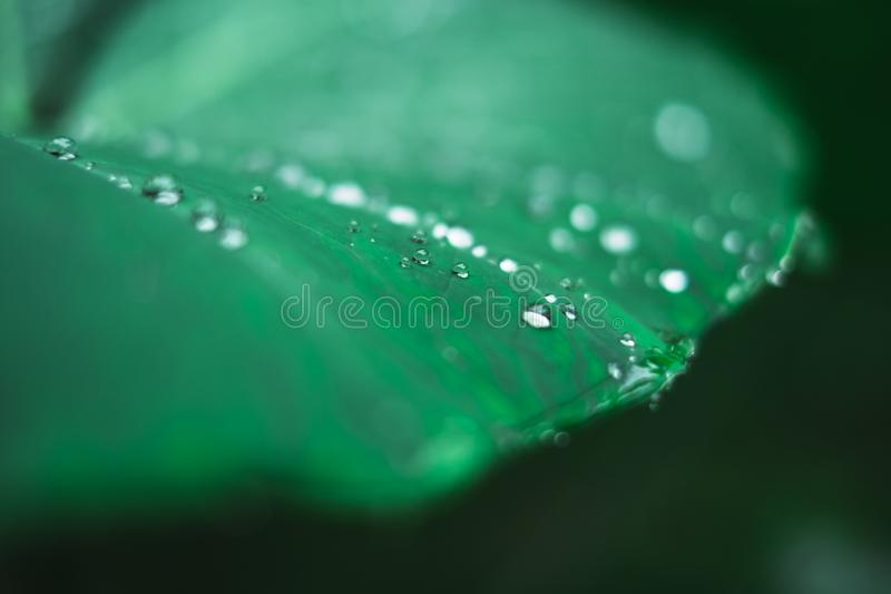 Water droplets on a plant's leaf after a rain. stock photo